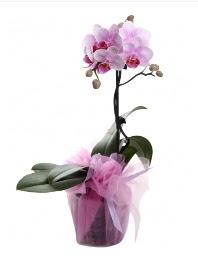 1 dal pembe orkide saksı çiçeği  Iğdır Tuzluca çiçek yolla
