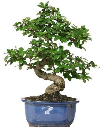 21 ile 25 cm arası özel S bonsai japon ağacı  Iğdır Karaağaç internetten çiçek satışı