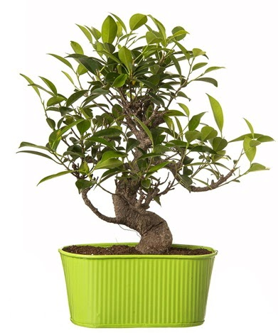 Ficus S gövdeli muhteşem bonsai  Iğdır Obaköy cicekciler , cicek siparisi