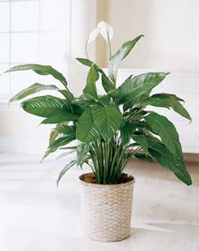 Iğdır Karakuyu çiçek online çiçek siparişi  spatilyum ithal büyük boy