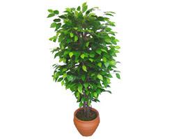 Ficus Benjamin 1,50 cm   Iğdır çiçek yolla yurtiçi ve yurtdışı çiçek siparişi