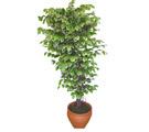 Ficus özel Starlight 1,75 cm   Iğdır Hoşhaber çiçek servisi , çiçekçi adresleri