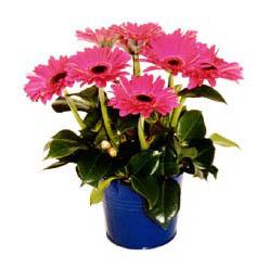 vazo içerisinde gerbera çiçekleri   Iğdır Karakuyu çiçek online çiçek siparişi