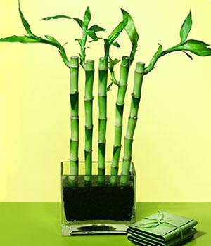 Iğdır çiçek yolla yurtiçi ve yurtdışı çiçek siparişi  Good Harmony Lucky Bamboo camda