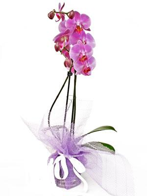 Iğdır çiçek yolla yurtiçi ve yurtdışı çiçek siparişi  Kaliteli ithal saksida orkide