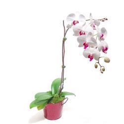 Iğdır Söğütlü çiçek siparişi sitesi  Saksida orkide