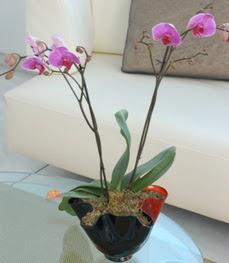 Iğdır Halfeli cicek , cicekci  tek dal ikili orkide saksi çiçegi