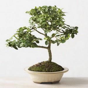 ithal bonsai saksi çiçegi  Iğdır çiçekçiler , çiçek yolla , çiçek gönder , çiçekçi