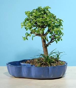 ithal bonsai saksi çiçegi  Iğdır Akyumak 14 şubat sevgililer günü çiçek