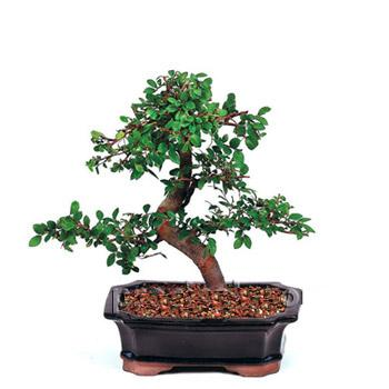 ithal bonsai saksi çiçegi  Iğdır Özdemir hediye sevgilime hediye çiçek