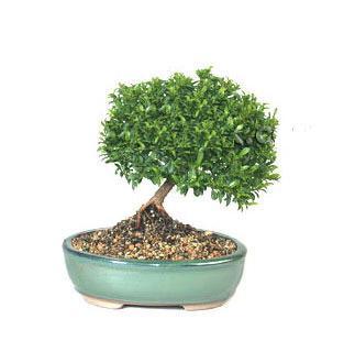 ithal bonsai saksi çiçegi  Iğdır Yaycı çiçek mağazası , çiçekçi adresleri