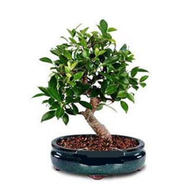 ithal bonsai saksi çiçegi  Iğdır Obaköy cicekciler , cicek siparisi