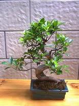 ithal bonsai saksi çiçegi  Iğdır çiçek gönder online çiçekçi , çiçek siparişi
