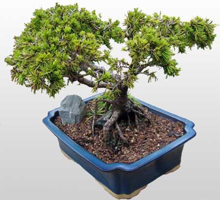 ithal bonsai saksi çiçegi  Iğdır Halfeli cicek , cicekci