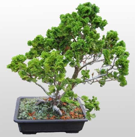 ithal bonsai saksi çiçegi  Iğdır Bağlar ucuz çiçek gönder