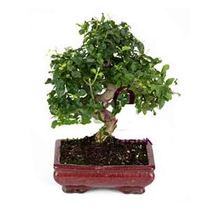ithal bonsai saksi çiçegi  Iğdır çiçek yolla yurtiçi ve yurtdışı çiçek siparişi