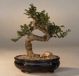 ithal bonsai saksi çiçegi  Iğdır çiçekçiler güvenli kaliteli hızlı çiçek