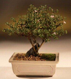 ithal bonsai saksi çiçegi  Iğdır karakoyunlu çiçek gönderme sitemiz güvenlidir