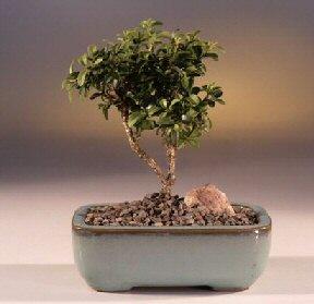 Iğdır 12 eylül çiçekçi mağazası  ithal bonsai saksi çiçegi  Iğdır Enginalan uluslararası çiçek gönderme