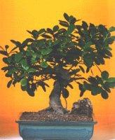 Iğdır Karaağaç internetten çiçek satışı  ithal bonsai saksi çiçegi  Iğdır Melekli anneler günü çiçek yolla