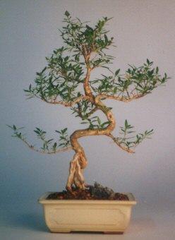 Iğdır 7 kasım çiçekçiler  ithal bonsai saksi çiçegi  Iğdır Özdemir hediye sevgilime hediye çiçek