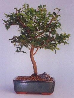 Iğdır Cumhuriyet çiçek siparişi vermek  ithal bonsai saksi çiçegi  Iğdır çiçek yolla yurtiçi ve yurtdışı çiçek siparişi