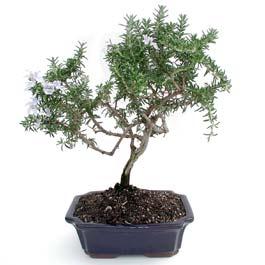 ithal bonsai saksi çiçegi  Iğdır Karaağaç internetten çiçek satışı