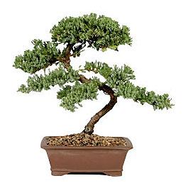 ithal bonsai saksi çiçegi  Iğdır 14 kasım hediye çiçek yolla