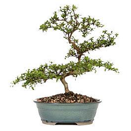 Iğdır Bağlar ucuz çiçek gönder  ithal bonsai saksi çiçegi  Iğdır 14 kasım hediye çiçek yolla