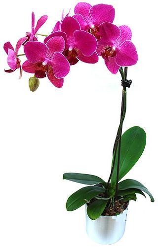 Iğdır Halfeli cicek , cicekci  saksi orkide çiçegi