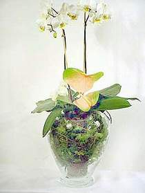 Iğdır 7 kasım çiçekçiler  Cam yada mika vazoda özel orkideler