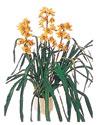 Iğdır Akyumak 14 şubat sevgililer günü çiçek  Orchiede ithal büyük boy saksi