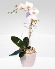 1 dallı orkide saksı çiçeği  Iğdır Alikamerli çiçek satışı