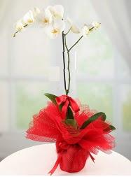 1 dal beyaz orkide saksı çiçeği  Iğdır Kışla çiçekçi telefonları