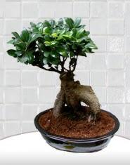 saksı çiçeği japon ağacı bonsai  Iğdır Tuzluca çiçek yolla