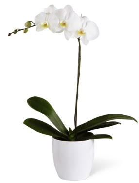 1 dallı beyaz orkide  Iğdır çiçekçiler güvenli kaliteli hızlı çiçek