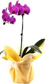 Iğdır Obaköy cicekciler , cicek siparisi  Tek dal mor orkide saksı çiçeği