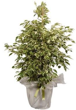 Orta boy alaca benjamin bitkisi  Iğdır Enginalan uluslararası çiçek gönderme