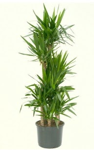 7 li yucca saksı bitkisi  Iğdır Aralık İnternetten çiçek siparişi