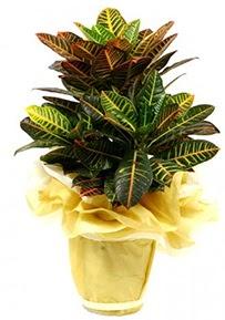 Orta boy kraton saksı çiçeği  Iğdır çiçekçiler güvenli kaliteli hızlı çiçek