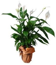 Orta boy barış çiçeği limon çiçeği  Iğdır Melekli anneler günü çiçek yolla