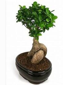 Bonsai saksı bitkisi japon ağacı  Iğdır Obaköy cicekciler , cicek siparisi