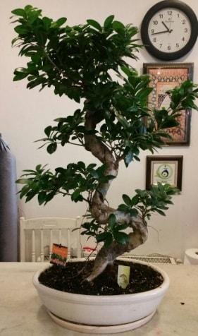 100 cm yüksekliğinde dev bonsai japon ağacı  Iğdır Bağlar ucuz çiçek gönder