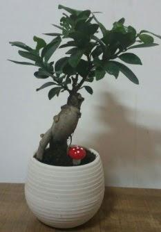 Bonsai japon ağacı saksı çiçeği  Iğdır 14 kasım hediye çiçek yolla