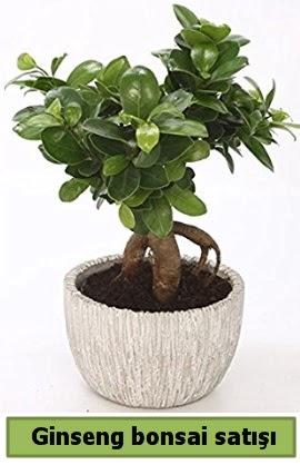 Ginseng bonsai japon ağacı satışı  Iğdır Karaağaç internetten çiçek satışı