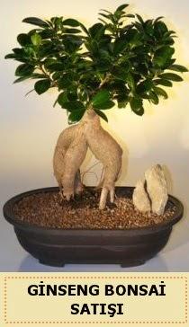İthal Ginseng bonsai satışı japon ağacı  Iğdır Obaköy cicekciler , cicek siparisi
