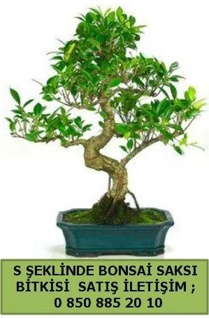 İthal S şeklinde dal eğriliği bonsai satışı  Iğdır Söğütlü çiçek siparişi sitesi