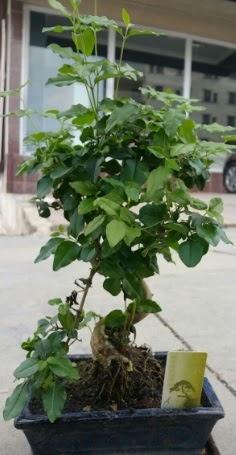 Bonsai japon ağacı saksı bitkisi  Iğdır Özdemir hediye sevgilime hediye çiçek