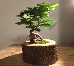 Doğal kütükte Bonsai japon ağacı satışı  Iğdır Enginalan uluslararası çiçek gönderme