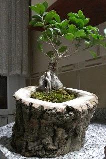 Ahşap kütük içerisinde ginseng bonsai  Iğdır Melekli anneler günü çiçek yolla